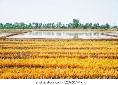 One rice field with yellow rice stubbles. Another plot is plowed with water. Paddy stubbles.