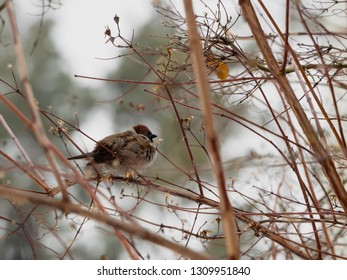 One ruffled up sparrow is sitting on the branch some winter day