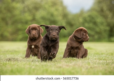 One running chocolate labrador puppy  and two sitting