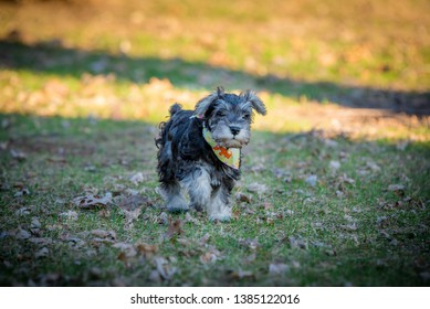 one salt and pepper mini schnauzer puppy, walking happily on green grass