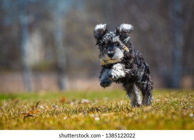 one salt and pepper mini schnauzer puppy, running happily on green grass