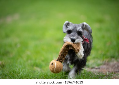 one salt and pepper mini schnauzer puppy, running happily on green grass with toy