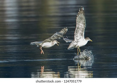 One seagull chases another seagull trying to get the fish in its beak in Coeur d'Alene Lake in north Idaho.