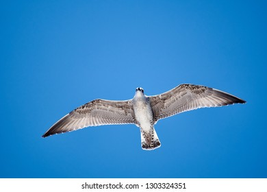 One seagull flying in the air with a clear blue skay in the background