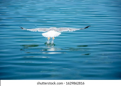 One seagull flying over the sea. Very nice close up photo of wild seabird with space for text.