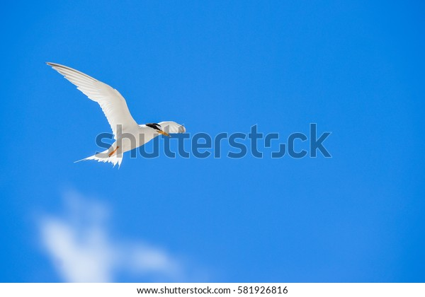 One seagull sky  .  Seagull Flying in Blue Sky.