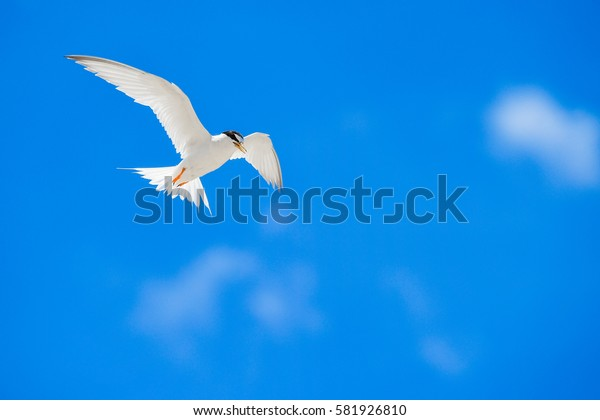 One seagull sky  .  flying young seagull in action