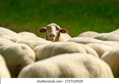 One sheep is lookink across the backs and ridges of a herd of sheep with white wool standing in a green meadow