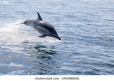 One Short-beaked common dolphin jumps out of the water to the right at Sagres