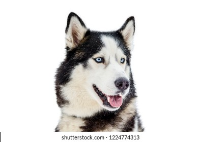 One Siberian Husky dog. Close up portrait of Husky breed. Husky dog has black and white fur color. Isolated white background. Copy space.