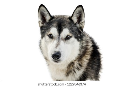 One Siberian Husky dog face. Close up Husky breed portrait. Husky dog has black and white fur color. Isolated white background for design.