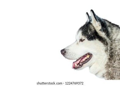 One Siberian Husky dog looking to the left. Husky dog has black and white fur color. Isolated white background. Copy space.