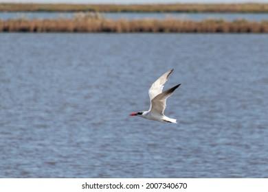 One single caspian tern (Hydroprogne caspia) flys over the marsh at Edwin B. Forsythe National Wildlife Refuge, New Jersey, USA