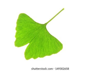 One single leaf of the Ginkgo tree (Ginkgo biloba)