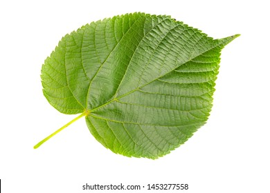 One single leaf of lime tree or linden isolated against white background.Tilia