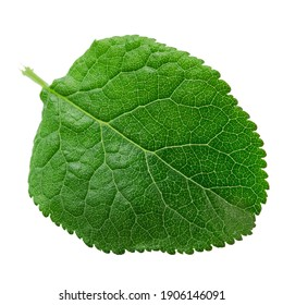 One single leaf of plum tree isolated on a white background, top view. File contains clipping path.