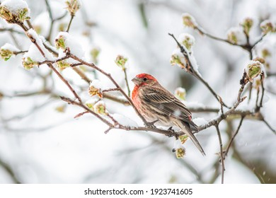 One single male red house finch, Haemorhous mexicanus, bird sitting perched on tree branch during heavy winter spring snow colorful in Virginia, snow flakes