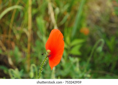One single poppy seed red petal with little beetles walking on it's edges. Green meadow or garden with wild poppies. Autumn, falling rotten flowers. Nature decay, summer fading away. Wallpaper.