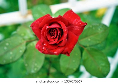 One single red rose with crystal drops of dew on petals and green leaves on the background. Close up view. Daylight.
