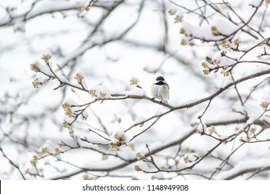 One small black-capped chickadee, poecile atricapillus, bird sitting perched on tree branch during heavy winter snow ruffling fluffing feathers cold in Virginia, snow flakes falling