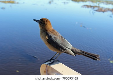 One small brown bird, a boat-tailed grackle on the edge of a boat close-up in an Everglades Florida waterway. Boat-tailed grackle on a close boat edge.