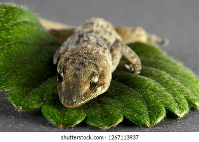 One Small Gecko Lizard and Green Leaf on a Colored Background