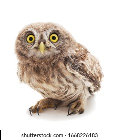 One small owl isolated on a white background.