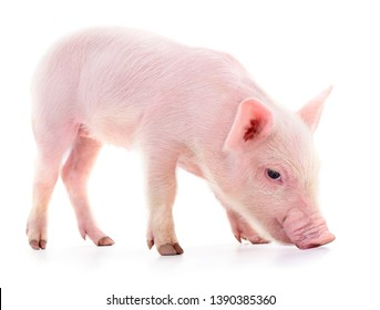 One small piglet isolated on a white background.