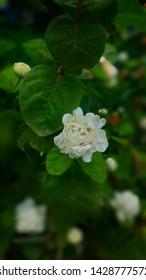 One small white rose closeup