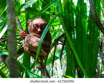 One Of The Smallest Primate In World Found Philippines It Is