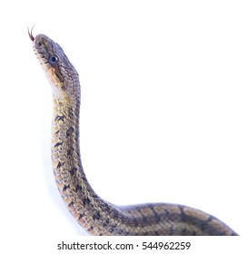 One snake sticks out his tongue