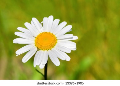 One solitary flowering white daisy with nice bokeh in green pasture