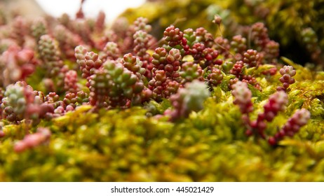 One species of Sedum plant in spring. Born in a rock wall