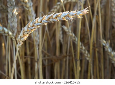 One spikelet of wheat on a blurred background
