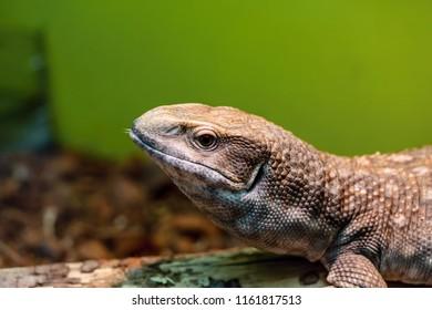 one spotty brown lizard closeup also looks open eyes