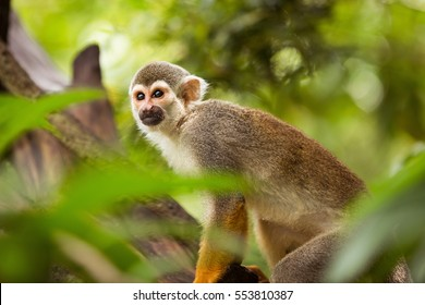 One squirrel monkey on top of a tree looking to the side.