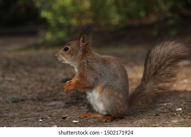 One squirrel, in profile, sitting on the ground, Park, summer, grey fur