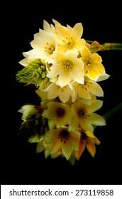 one stem of star-of-bethlehem flowers isolated on black background