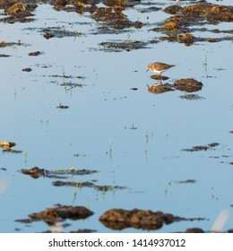 One Temminck´s Stint wader bird looking for feed in natural habitat in a wetland on the swedish island Oland
