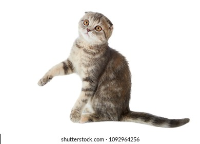 One striped kitten of a Scottish Fold cat sitting with a raised paw, isolated on a white background.