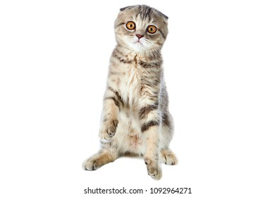 One striped kitten of a Scottish Fold cat sitting with raised front paws, isolated on a white background.
