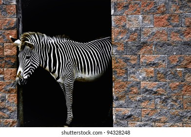 One strong zebra in zoo Spain Picos in Europe
