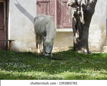 One sturdy white horse wearing black bridles grazing on green grass, white chamomile and yellow flowers against  rural house with weathered wooden shutters background. Haute-Garonne, Occitanie, France