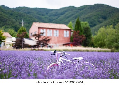 One summer purple lavender festival