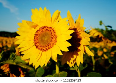 One sunflow is backing up another sunflower at Dorothea Dix Park in Raleigh North Carolina