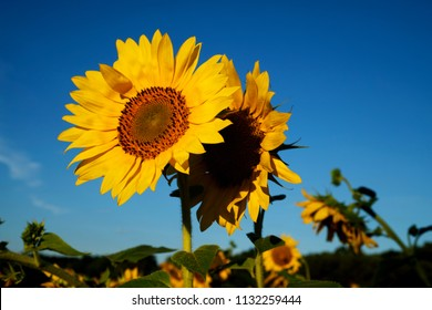 One sunflow has the other sunflower's back at Dorothea Dix Park in Raleigh North Carolina