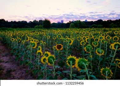 One sunflower dares to be different at Dorothea Dix Park in Raleigh North Carolina