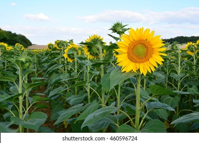 One sunflower going against the stream and flow by looking the other way in a field