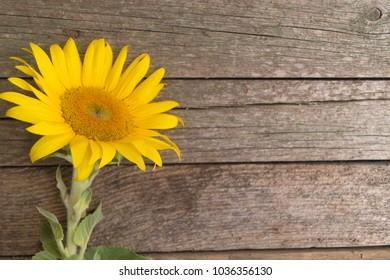 One Sunflower On The Old Wooden Background Space For Text Loneliness Concept