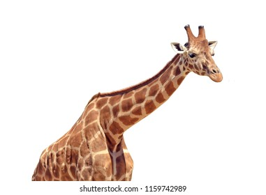 One tall Giraffe animal isolated on white background. Copy space
